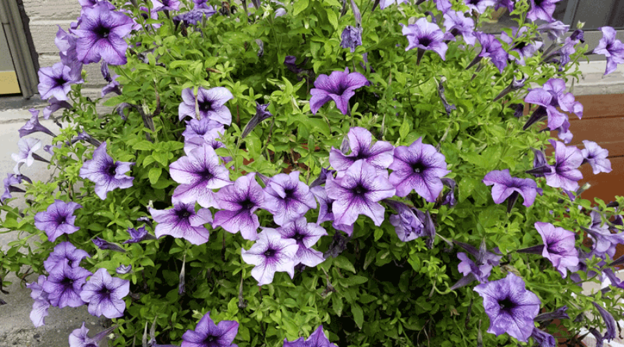 A lesson in Petunias.